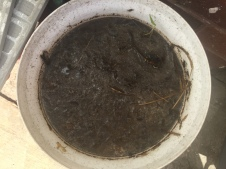 Weed tea sludge - ready to be strained. The flies love it!